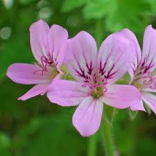 geranium rosat bourbon 2