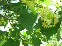fleurs et feuille de tilleul