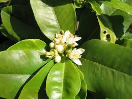 fleurs de bergamotier