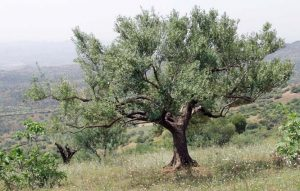 olivier arbre