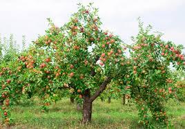 pommier avec des pommes